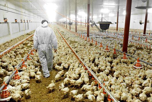 hodowla kurczaczków
